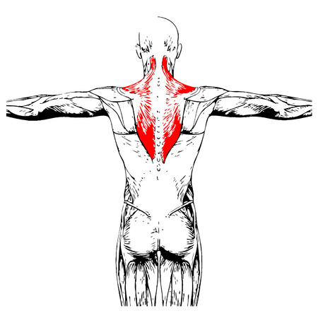 anatomical: Concept or conceptual 3D back human anatomy or anatomical and muscle isolated on white background Illustration