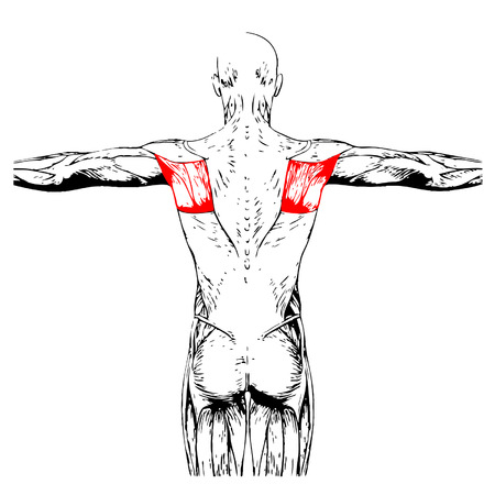 back anatomy: Conceptual 3D back anatomy muscle isolated on white background