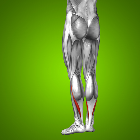 tensor: Conceptual 3D human front lower leg muscle anatomy on green background