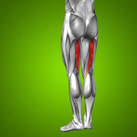 didactic: Conceptual 3D human front upper leg muscle anatomy on green background