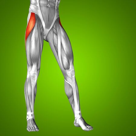 leg muscle: Conceptual 3D human front upper leg muscle anatomy on green background