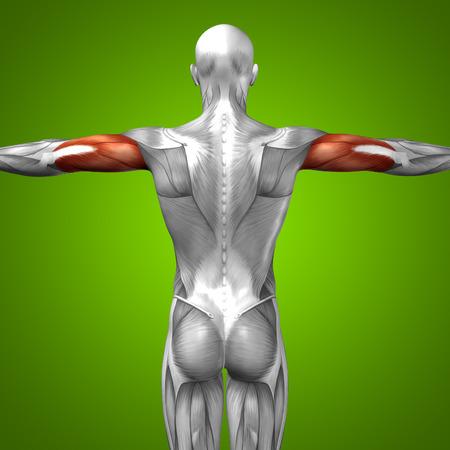 緑の背景の概念 3 D 上腕三頭筋解剖筋