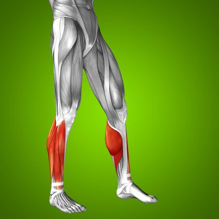 human leg: Conceptual 3D human front lower leg muscle anatomy on green background
