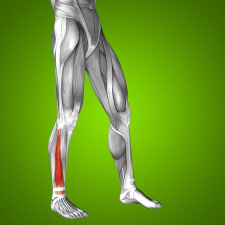 leg muscle: Conceptual 3D human front lower leg muscle anatomy on green background