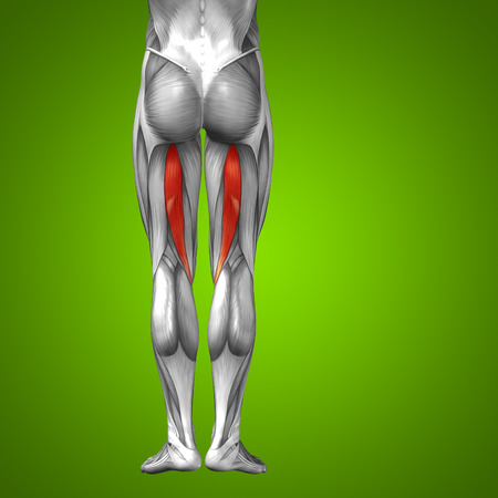 soleus: Conceptual 3D human front upper leg muscle anatomy on green background