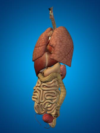 3D órganos humanos o el hombre abdominales interna o tórax para los diseños de anatomía o de salud sobre fondo azul
