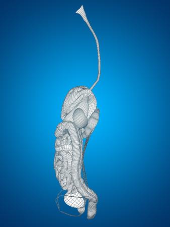 muscle: Sistema conceptual humano u hombre wireframe 3D anatómica digestivo sobre fondo azul Foto de archivo