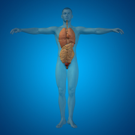 guts: Conceptual 3D man with internal organs, digestive, lungs and circulatory system on blue background Stock Photo
