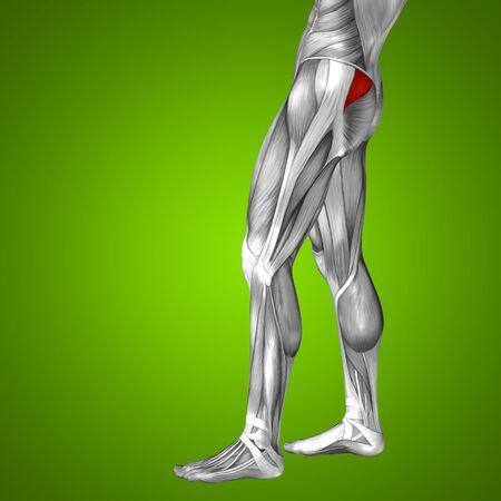 ścięgno: Conceptual 3D human front upper leg muscle anatomy on green background