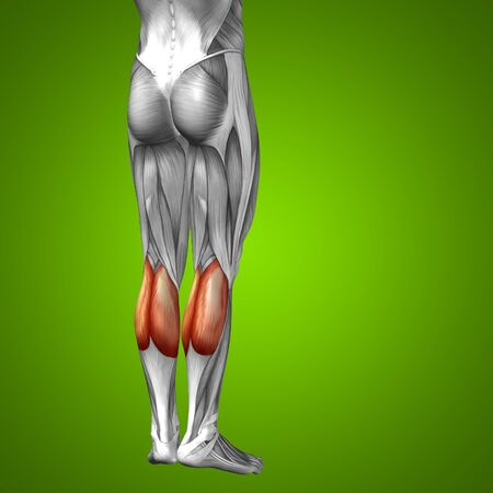 soleus: Conceptual 3D human front lower leg muscle anatomy on green background