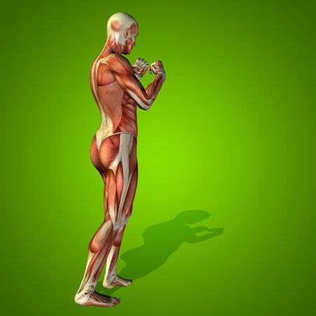 ścięgno: Koncepcyjne 3D ludzkiego zdrowia człowieka anatomii na zielonym tle Zdjęcie Seryjne