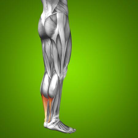 ścięgno: Conceptual 3D human front lower leg muscle anatomy on green background