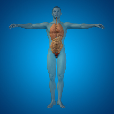 transplant: Conceptual 3D man with internal organs, digestive, lungs and circulatory system on blue background Stock Photo