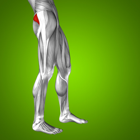 gastrocnemius: Conceptual 3D human front upper leg muscle anatomy on green background