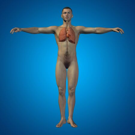 biological: Conceptual anatomical human or man 3D respiratory system on blue background