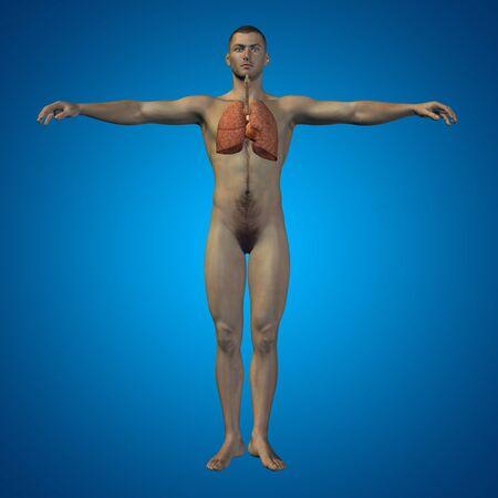 aparato respiratorio: Sistema respiratorio conceptual humana anatómica u hombre 3D sobre fondo azul