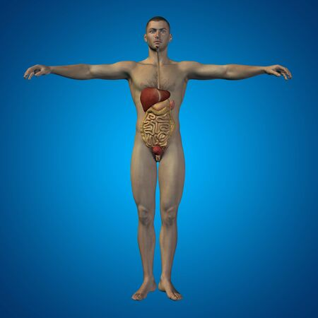 cecum: Conceptual 3D man with internal organs, digestive, lungs and circulatory system on blue background Stock Photo