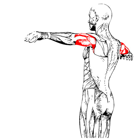 Concettuale tricipiti 3D dell'anatomia muscolare isolato su sfondo bianco