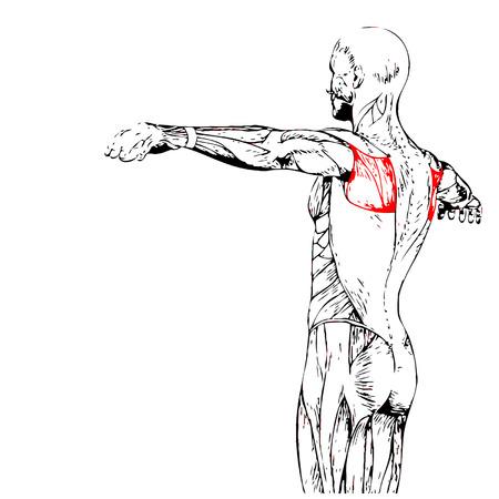 Conceptual 3D zurück Anatomie Muskel isoliert auf weißem Hintergrund