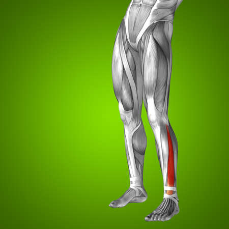 didactic: Conceptual 3D human front lower leg muscle anatomy on green background