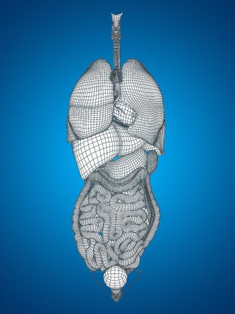 biologia: Wireframe humanos 3D u hombre abdominales interna o t�rax �rganos de la anatom�a o la salud en el fondo azul