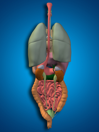 3D Human Or Man Internal Abdominal Or Thorax Organs For Anatomy ...