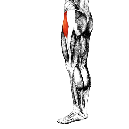 sportive: Conceptual 3D human front upper leg muscle anatomy isolated on white background
