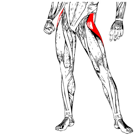 upper leg: Concept or conceptual 3D human upper leg anatomy or anatomical and muscle isolated on white Illustration