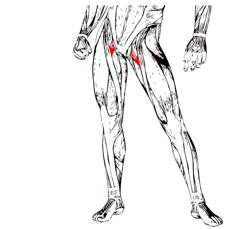 didactic: Conceptual 3D adductor longus leg human anatomy or anatomical muscle isolated on white