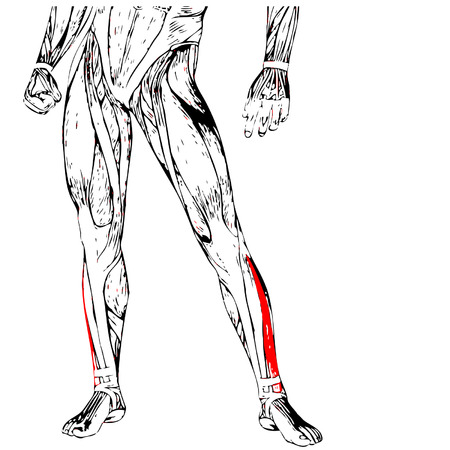 didactic: Concept conceptual 3D front lower leg human anatomy or anatomical muscle isolated on white Illustration