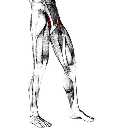 gastrocnemius: Conceptual 3D human front upper leg muscle anatomy isolated on white background