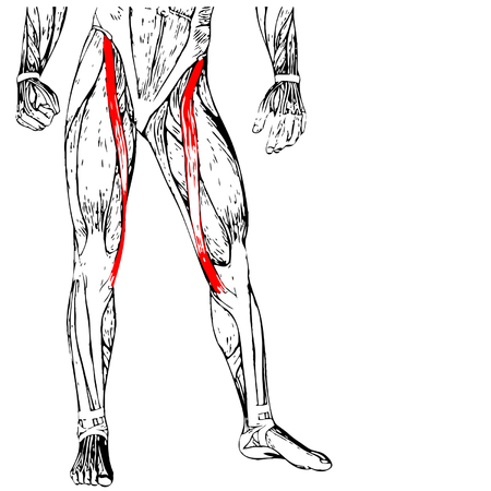 gastrocnemius: Conceptual 3D sartorius, leg human anatomy or anatomical muscle isolated on white Illustration