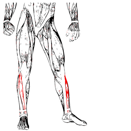 Conceptual 3D human lower leg anatomy or anatomical and muscle isolated on white