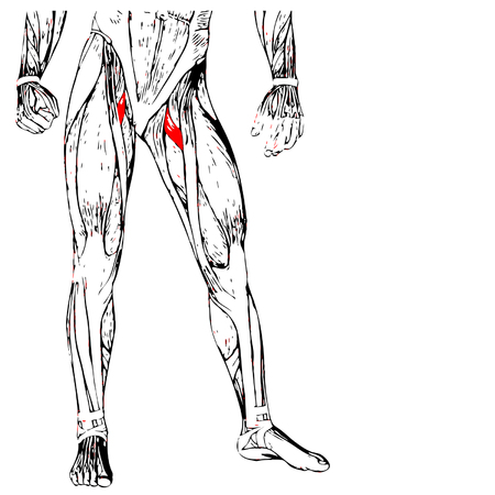 Concept or conceptual 3D human upper leg anatomy or anatomical and muscle isolated on white  イラスト・ベクター素材