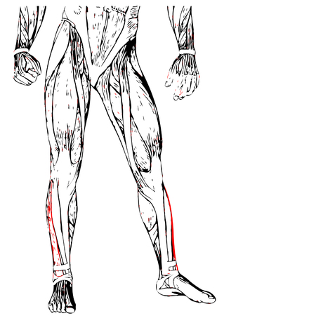 didactic: Concept or conceptual 3D human lower leg anatomy or anatomical and muscle isolated on white Illustration