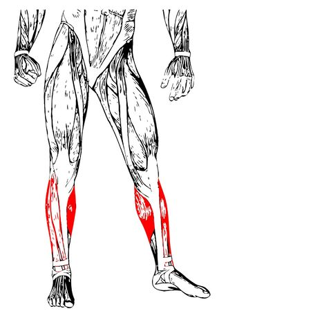 Concept or conceptual 3D human lower leg anatomy or anatomical and muscle isolated on white  イラスト・ベクター素材
