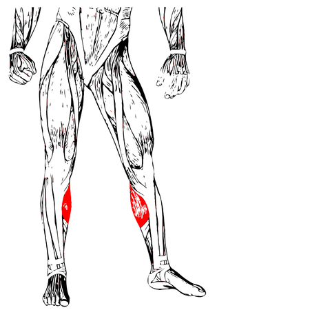 anatomical: Concept or conceptual 3D human lower leg anatomy or anatomical and muscle isolated on white background Illustration