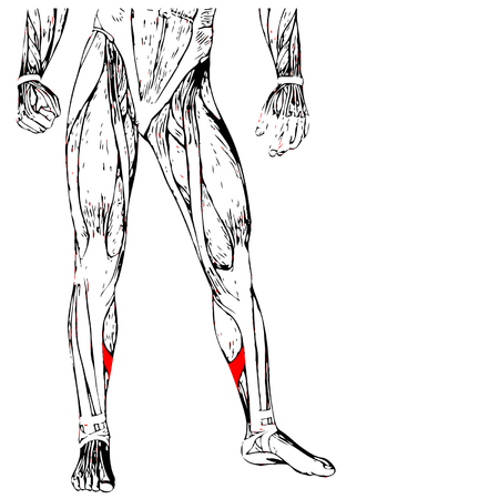 didactic: Concept or conceptual 3D human lower leg anatomy or anatomical and muscle isolated on white background Illustration