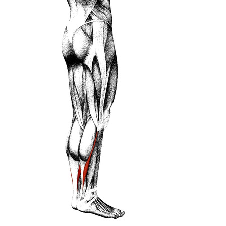 soleus: Conceptual 3D human front lower leg muscle anatomy isolated on white background