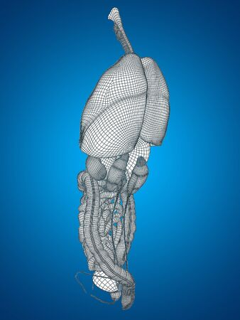 3D wireframe human or man internal abdominal or thorax organs for anatomy or health on blue background