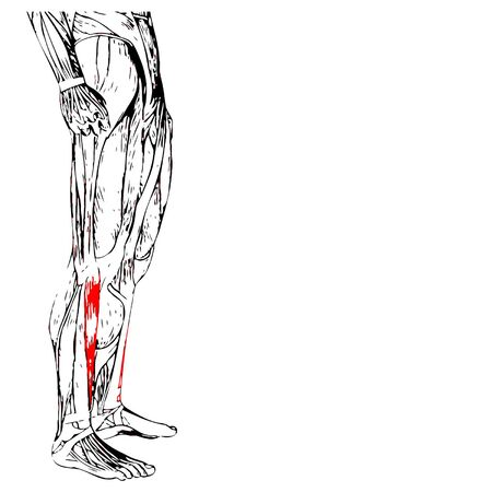 Vector concept 3D human lower leg anatomy or anatomical and muscle isolated on white  イラスト・ベクター素材