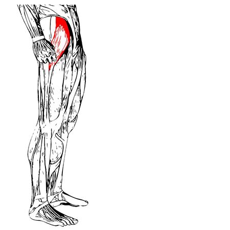 Vector concept 3D adductor longus human upper leg anatomy or anatomical and muscle isolated on white