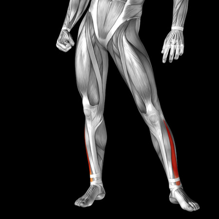 leg muscle: Conceptual 3D human front lower leg muscle anatomy isolated on black background Stock Photo
