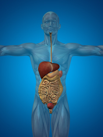 digest: Conceptual anatomical human or man 3D digestive system on blue background