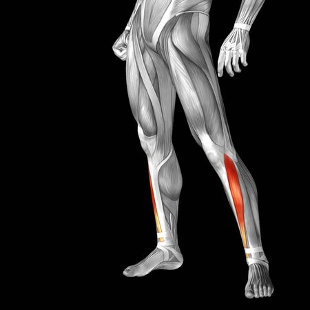tensor: Conceptual 3D human front lower leg muscle anatomy isolated on black background Stock Photo