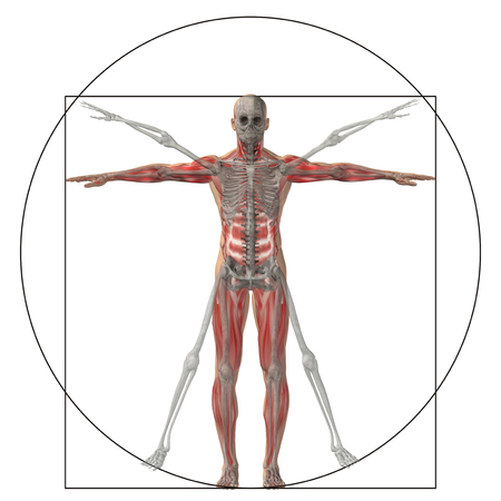 spine x ray: Vitruvian human or man as a concept or conceptual 3d proportion anatomy body isolated on background
