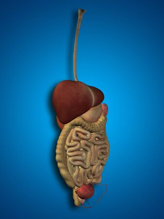 anatomical: Conceptual anatomical human or man 3D digestive system on blue background