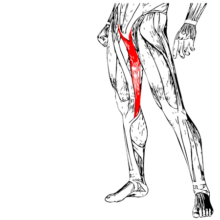 upper leg: Vector concept or conceptual 3D human upper leg anatomy or anatomical and muscle isolated Illustration