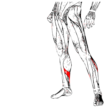 didactic: Vector concept 3D human lower leg anatomy or anatomical and muscle isolated