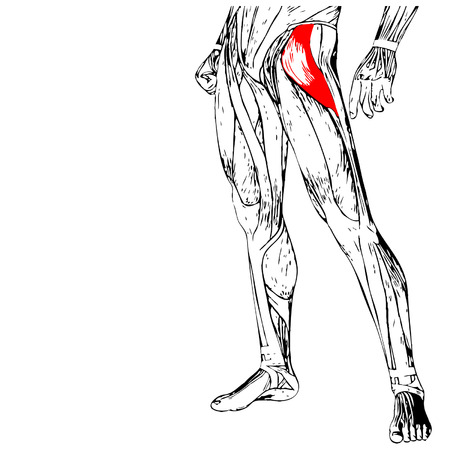 Vector concept or conceptual 3D human upper leg anatomy or anatomical and muscle isolated  イラスト・ベクター素材